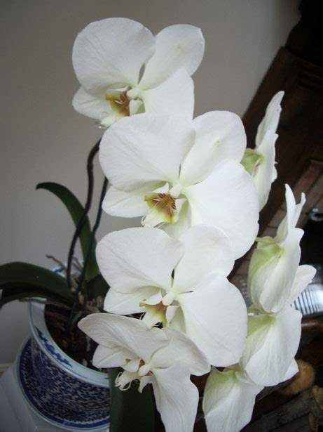 White Orchids Free Stock Photo - Public Domain Pictures