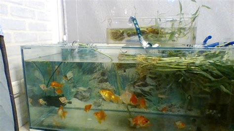 aquarium - Is my tank overstocked with Goldfish? - Pets
