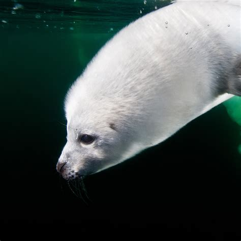 Harp Seal | National Geographic